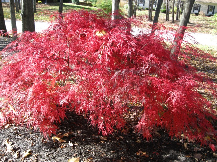 Asian Maple