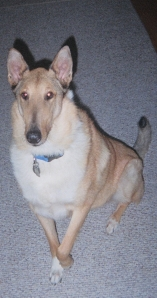 smooth-collie