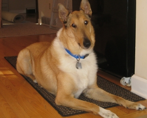 smooth-collie-1
