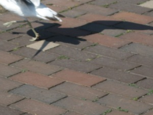 seagull-late